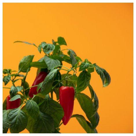 Pflanzenkapsel Mini-Paprika