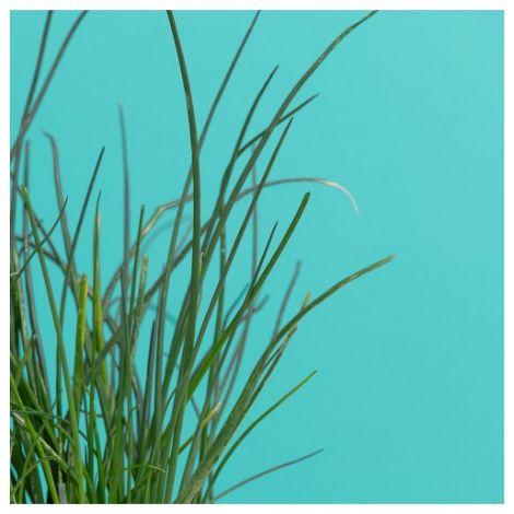 Pflanzenkapsel Schnittlauch